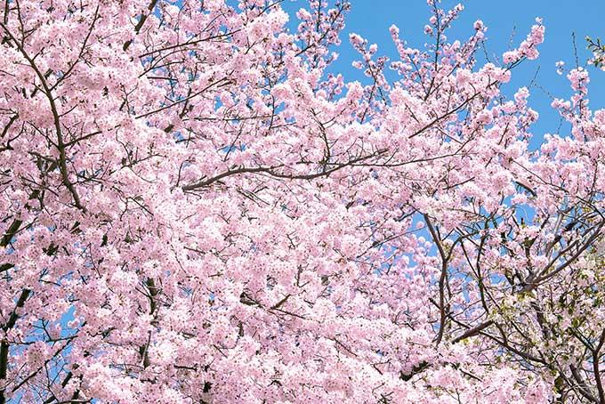 cherry-blossom_00043